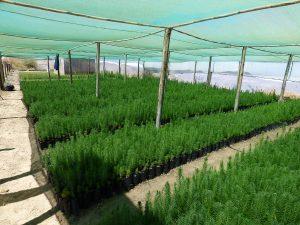 plantaciones_forestales3
